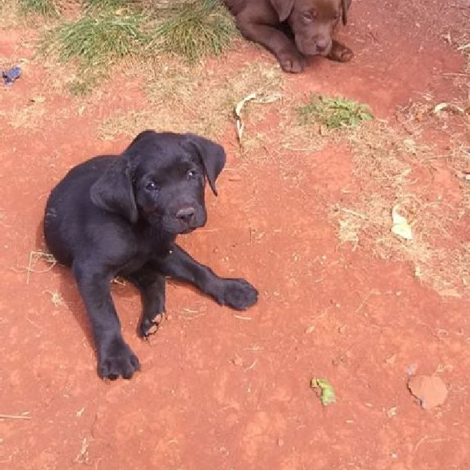 Labrador Pups Experts