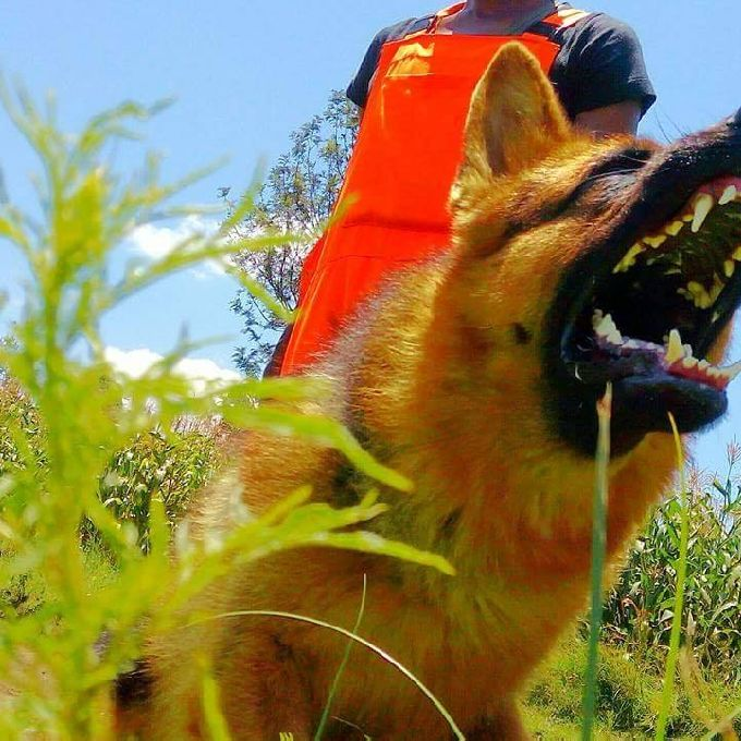 Training Courses for German Shepherd Dogs
