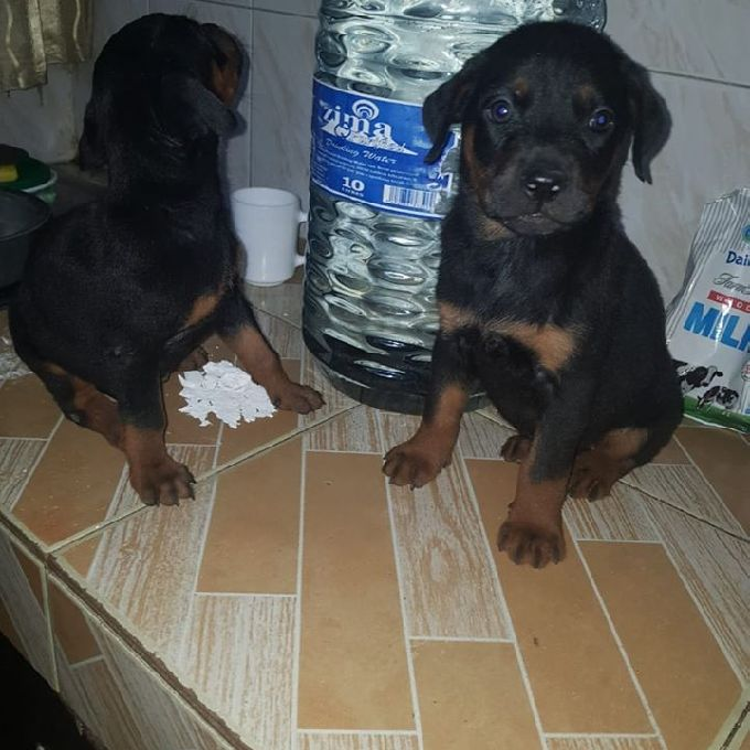 Rottweiler Puppy Training.