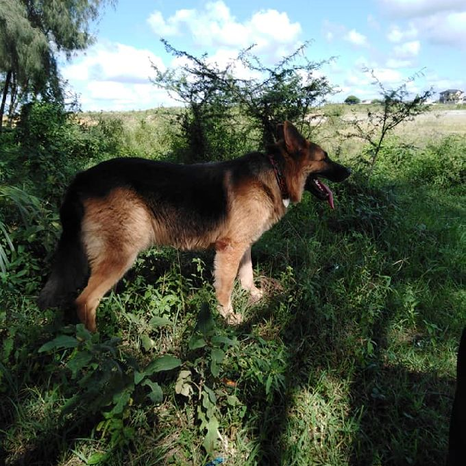 House Trained German Shepherd in Mombasa