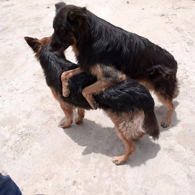 Dog Insemination Services